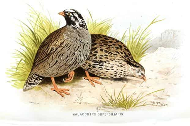 Artist: W. Foster (before 1879). From 'Game birds of India, Burmah and Ceylon' (1880) by Hume and Marshall.