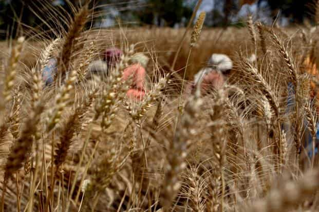 Scientists say genetically-modified wheat fails to repel aphids