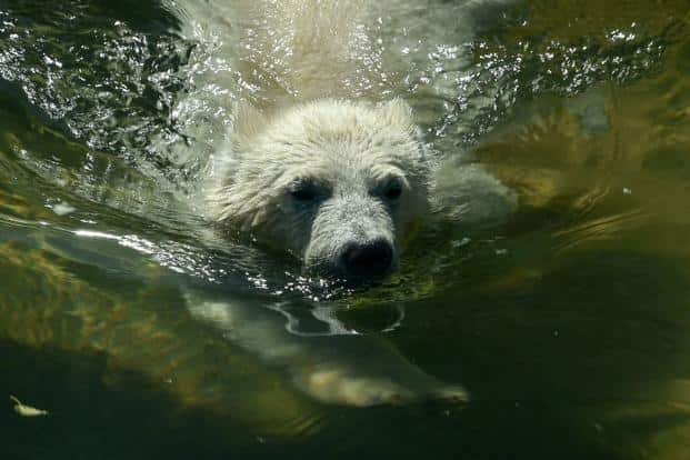 A file photo of a polar bear in water. Photo: AFP