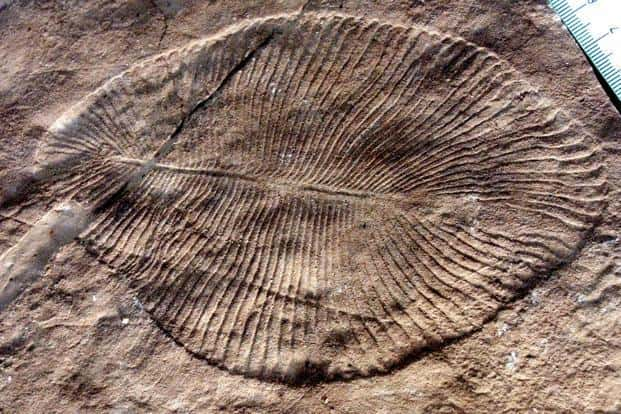Ediacarans were a largely immobile form of marine life shaped like discs and tubes, fronds and quilted mattresses. Photo: Verisimilus/Wikipedia