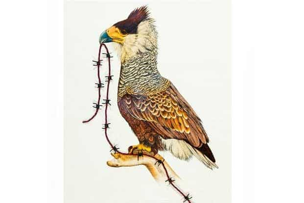 A hybrid of Mexico's northern crested caracara and the US' bald eagle.