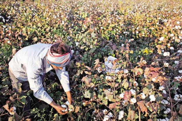 The extent of the devastation has left many agriculture scientists in the state puzzled given that the whitefly is common to cotton farms across Punjab. Photo:  Bloomberg