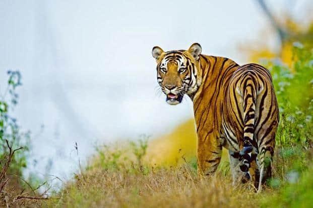 A tiger at the Cauvery Wildlife Sanctuary, Karnataka. Photo courtesy: Mithun Hanagund