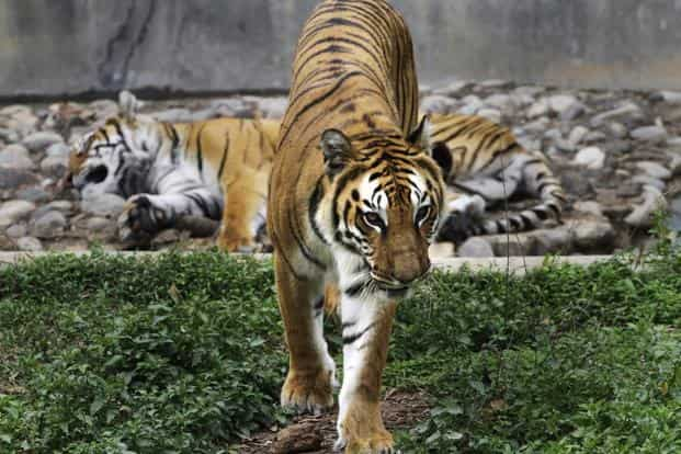 The GTF has been entirely dominated by India. With foreign members and other invitees watching bemusedly, Indians have hogged international attention generated by the tiger's plight. Photo: AP