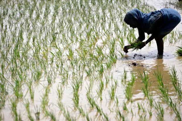Total foodgrain production in 2015-16 is estimated at 252.23 million tonnes, marginally higher than 252.02 million tonnes produced in 2014-15, the data shows. Photo: Reuters