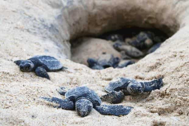A file photo of newly-hatched Olive Ridley turtles at a beach in Odisha. Kartik Shanker's new book From Soup To Superstar  generates awareness on marine species. Photo: AFP