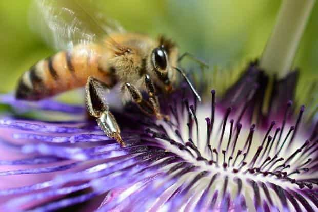 File photo. In the USDA study, beekeepers who owned at least five colonies, or hives, reported the most losses from the varroa mite, a parasite that lives only in beehives and survives by sucking insect blood. Photo: AFP