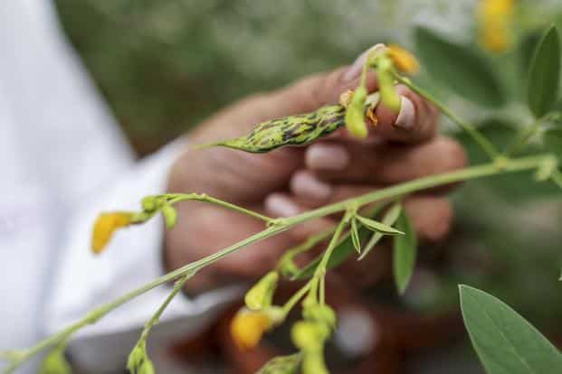 Widespread use of the revamped pigeon pea—known locally as tur dal—has the potential to boost yields that are less than half of China's, and could help the country reach its longer term inflation target of 4%, lowering borrowing costs. Photo: Bloomberg