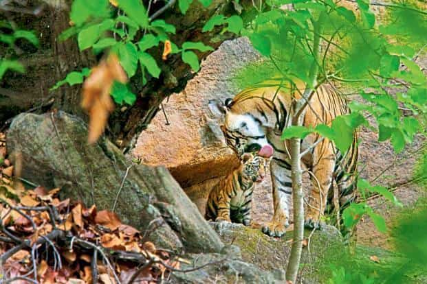 The manner in which tigers have dwindled over the past century, with 97% of their population dying out, shows how much work remains to be done. Photo: Getty Images