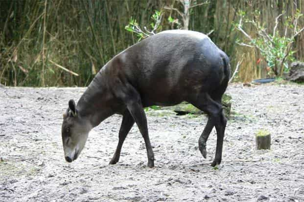 Three species of antelope found in Africa—Bay Duiker (Cephalophus dorsalis) (above), White-bellied Duiker (Cephalophus leucogaster) and Yellow-backed Duiker (Cephalophus silvicultor)—have moved from Least Concern to Near Threatened.