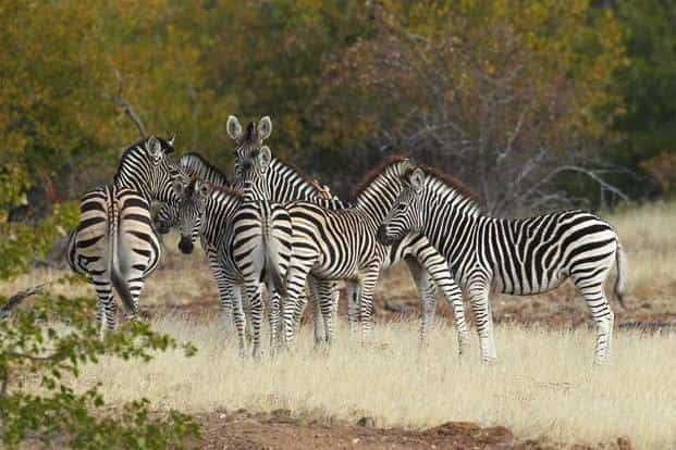 The previously abundant Plains Zebra (Equus quagga) has moved from Least Concern to Near Threatened. The population has declined by a quarter since 2002 from around 660,000 to a current estimate of just over 500,000 animals.