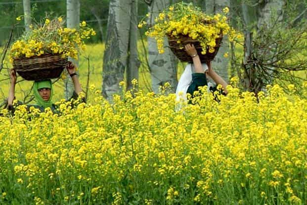 Genetically modified (GM) crops have always been a contentious issue in India. Photo: AFP