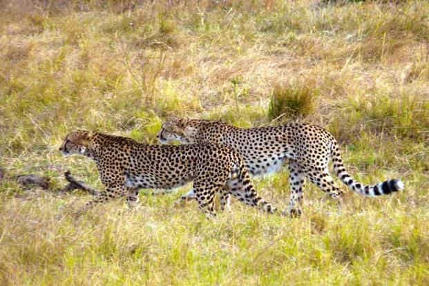 Wild gazing in Africa and India