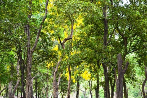 At $1,500 each, these aromatic trees are very precious parasites