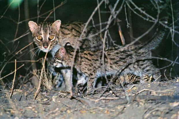 Fishing cats captured on camera. Photo: Bholu Abrar Khan