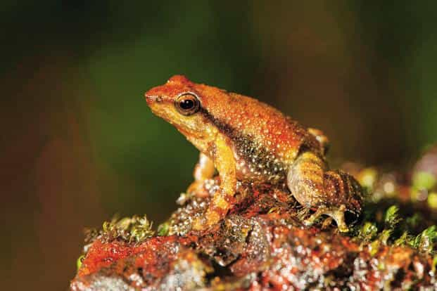 Of these survivors, just three major kinds of frogs went on to diversify and populate the planet. Some 6,700 known frog species exist today. Photo: AP