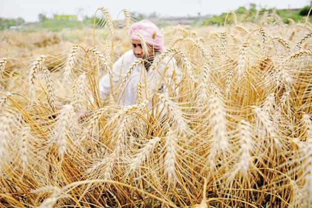 Average actuarial premium rates charged by companies under the revamped Pradhan Mantri Fasal Bima Yojana were the highest ever at 12.6% during Kharif 2016, an assessment by the Centre for Science and Environment said. Photo: Hindustan Times