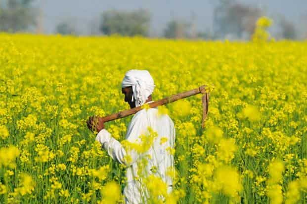 The Supreme Court, which is hearing a case against GM mustard, was told by the centre in July that it is likely to take a final decision on the commercial rollout of the crop by September. Photo: HT