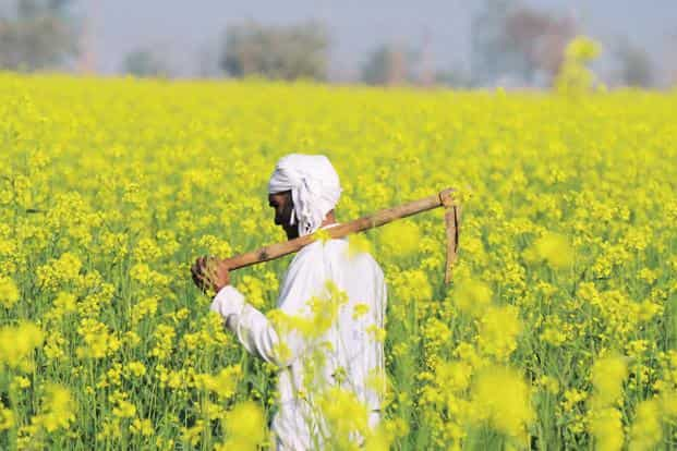 Farmers claim superior mustard yields with new cultivation