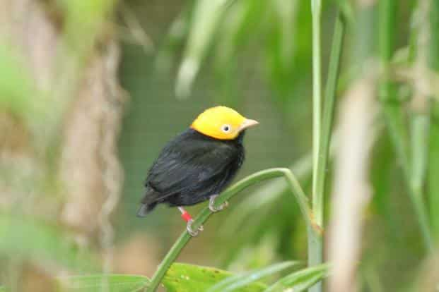 A hybrid species forms when two parental species mate to produce a hybrid population, which then stops being able to freely interbreed with the parental species. Above, a golden-crowned manakin. Photo: Wikimedia commons