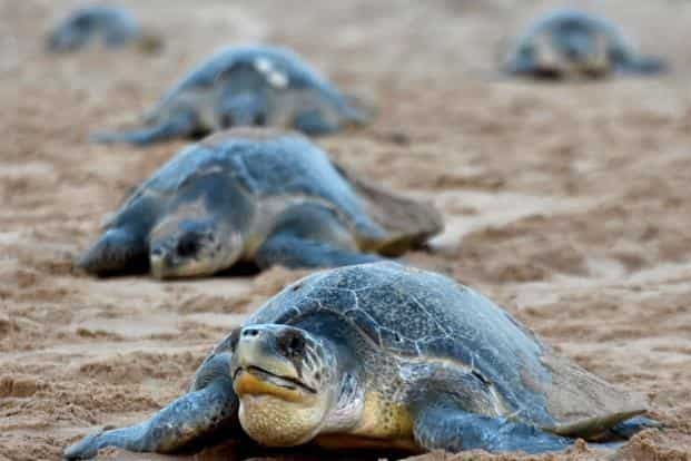 Fishing communities in Odisha protect the threatened species of Olive ridley turtles from harm as they return year after year to nest, a unique ritual for both turtles and their custodians that stretches back decades. Photo: AFP
