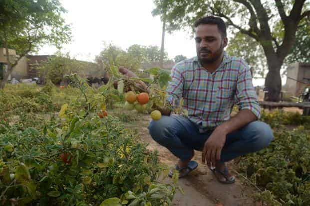 Rakesh Sangwan from Jojhu Kalan village has not harvested his tomato crop as current mandi prices will not pay for plucking and transport cost.
