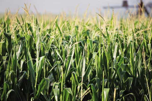 DowDuPont is a leading supplier of hybrid corns in India, Asia's second-largest grower of the grain after China. Photo: Bloomberg
