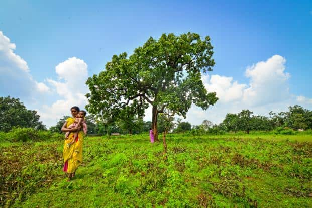 The 'mahua' tree is a common feature of the landscape across the villages of Bastar. Photo: Aniruddha chowdhury/Mint