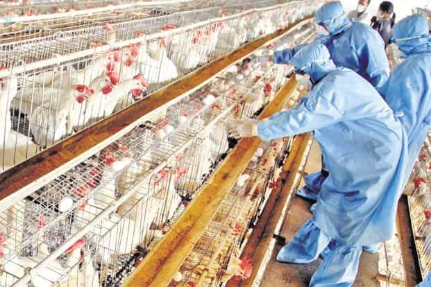 Govt may ban antibiotic colistin used to fatten chicken